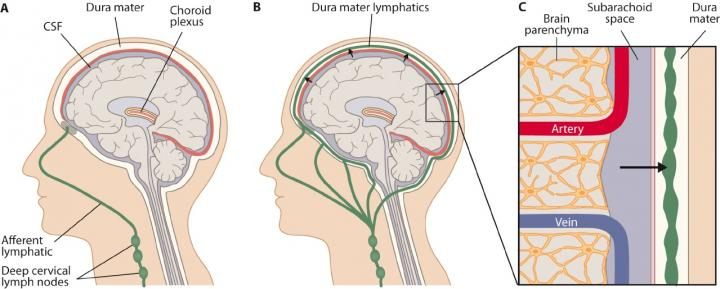 lymphatic-system-in-brain