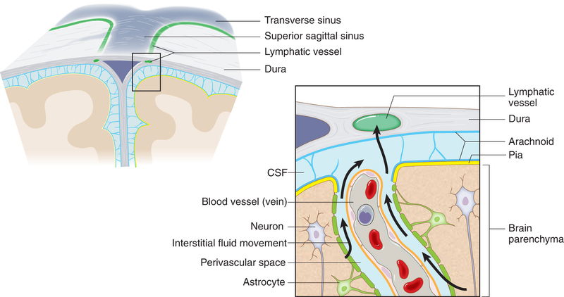 lymphatics in the brain